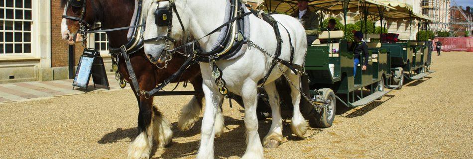 Shire Horse rides at Hampton Court