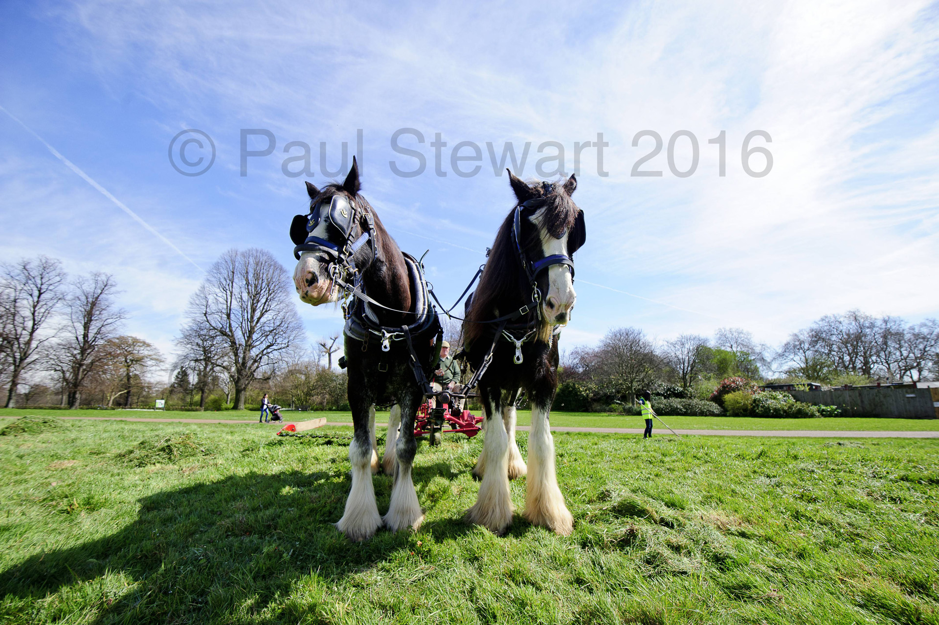 BRITAIN Hyde Park Kensington Image created:-12/04/2016 OPS: - A beautiful spring day in Hyde Park /Kensington Gardens, as Aragon and Royal (known as Roy) two of the shire horses of the last working herd in London, mow the grass for the first time this year. The herd is looked after and operated by Operation Centaur in association with the Royal Parks and Palaces. The team are being driven by Ed McDowell ©Paul Stewart 20160412 07917 65 26 36 @@PS_Shires-003.jpg