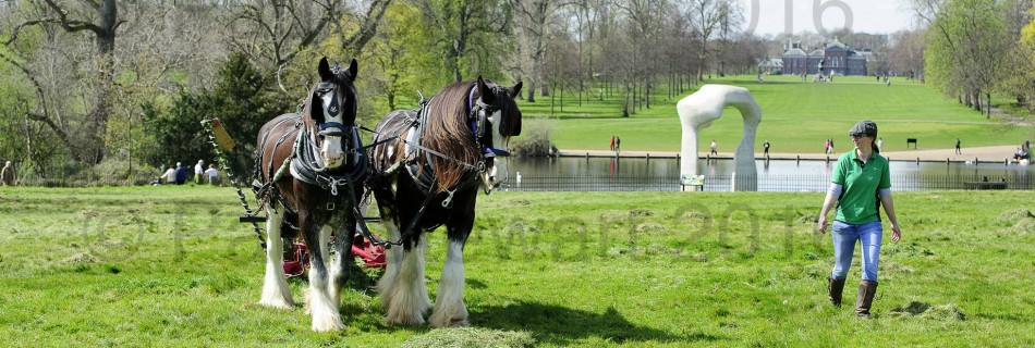 BRITAIN  Hyde Park Kensington Image created:-12/04/2016   OPS: -  A beautiful spring day in Hyde Park /Kensington Gardens, as Aragon and Royal (known as Roy) two of the shire horses of the last working herd in London, mow the grass for the first time this year.  The herd is looked after and operated by Operation Centaur in association with the Royal Parks and Palaces.  The team are being driven by Ed McDowell as Tanya Melton walks ahead  ©Paul Stewart 20160412 07917 65 26  36 @@PS_Shires-005.jpg